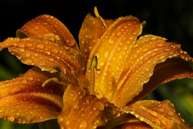 lily-395551_640
